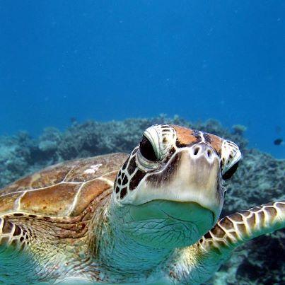 <p>ウミガメ遭遇率が高いことでも知られるグリーン島。シュノーケリングで人気者のウミガメにも会えるかも⁉</p>