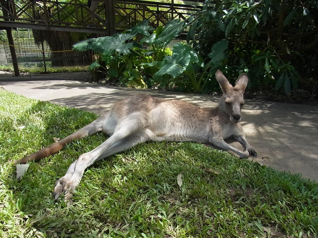 <p>隣接されているワイルドライフパーク(動物園)でカンガルーやワラビー、コアラにも会えちゃいます。また、ケアンズではここだけ!!タスマニアンデビルにも会うことができます。</p>