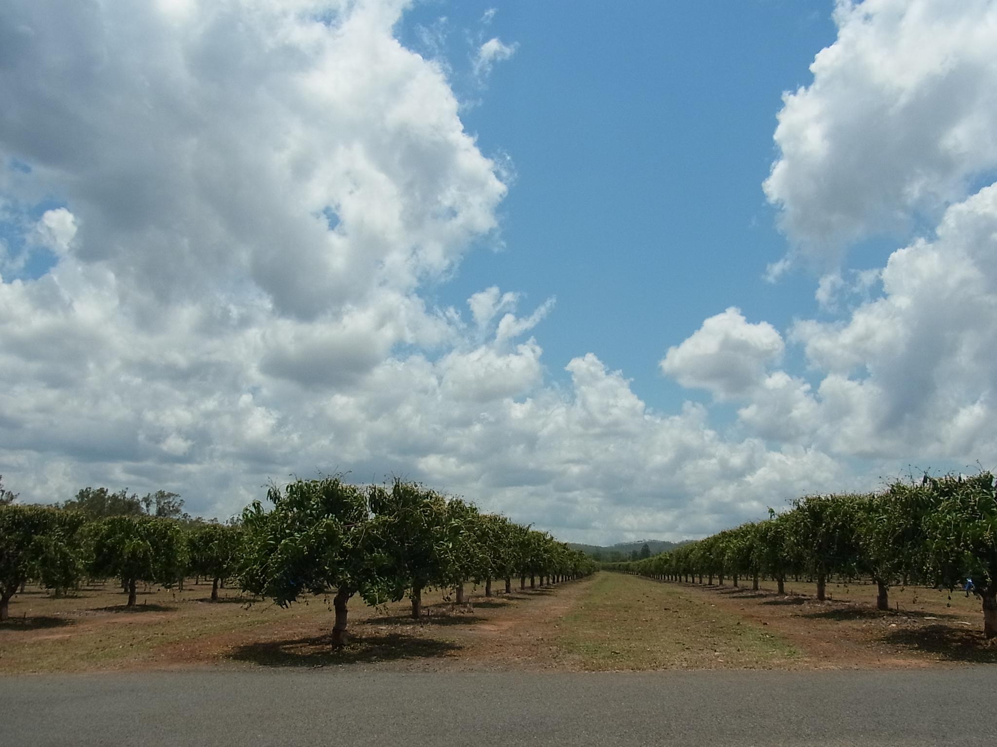 <p>そのワインが作られているのはマリーバの市内からほど近い広大な敷地を持つマンゴーファーム。 100ヘクタール以上の敷地に、4種類、1万7500本のマンゴーが植えられています。</p>