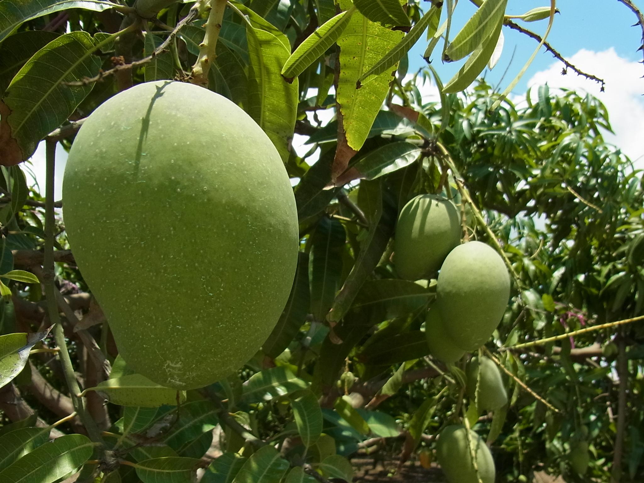 <p>太陽をいっぱいに浴びた大きなマンゴー、写真の実は収穫までもうすぐです! このマンゴーがおいしいワインになるのです。 だいたい毎年12〜2月がマンゴーの収穫、 4〜9月がワインを作る季節なんだとか。 こちらではセカンドワーキングホリデービザ取得のための ファームジョブにも対応しています。 興味のある方は電話で仕事の有無などを問い合わせてみてくださいね。</p>