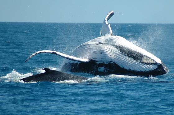 <p>また、7月〜9月の期間限定で行われている ホエールウォッチングは見逃せない! 冬の時期だけケアンズ近くに訪れるザトウクジラたちの ダイナミックな姿を見ることができます。 その遭遇率はなんと99%!! 万が一クジラに会えなかった場合は無料でもう一度行くことができるので、 「せっかく船代払ったのに〜!」という心配はほとんど無用! 1年に2〜3か月だけのスペシャルなクルーズ、行かなきゃソン!ですよー。</p>