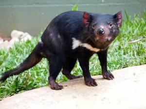 <p>ケアンズ唯一「タスマニアデビル」がいる事 Tassy Devil タスマニアデビルは、タスマニア島に分布しており、肉食有袋類です。見た目が、クリッとした目が可愛らしく、その見た目で人気も高いですが、実はかなりの性格が凶暴・・・。昼間は巣にいることが多く、よるになると餌を探しに出て来ます。動物園では、昼間でもその姿を見ることができます。顎の力は、とても強く、その強い顎でバリバリと餌を食べ、その姿は、可愛らしい姿とは一変。しかし、そんな姿もなかなか見ることができないので、かなり必見です。</p>