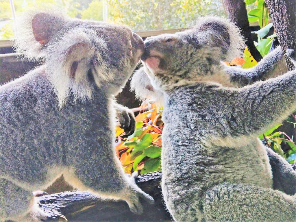 愛らしいコアラを抱っこできるCairns Zoom & Wildlife Dome